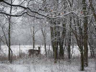 Deer in Backyard                        (C) 2012 Margaret Dubay Mikus