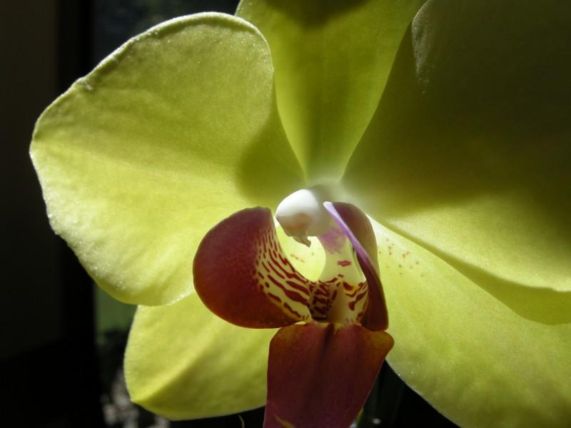Sun Through Orchid Copyright 2013 Margaret Dubay Mikus