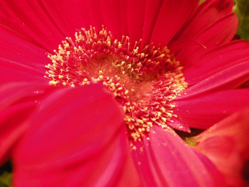 Gift Gerbera Daisy by Margaret Dubay Mikus Copyright 2014