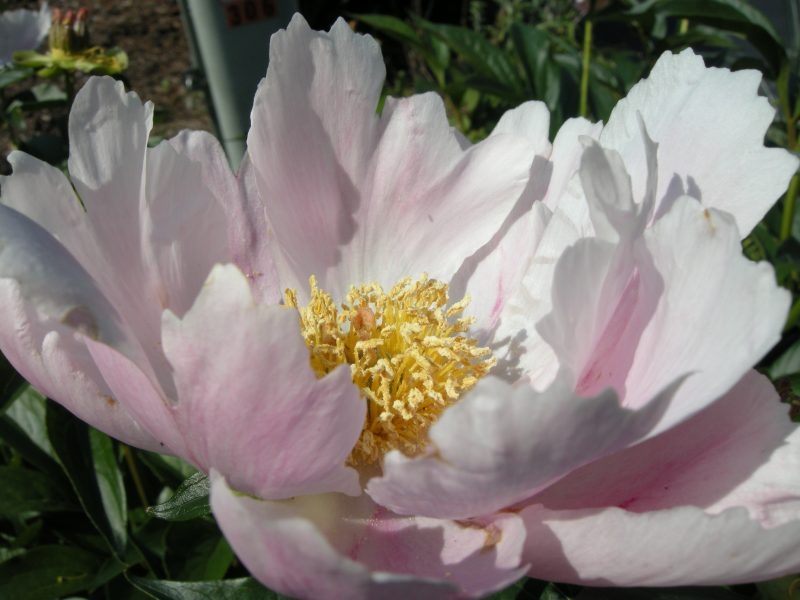 Peony Open to Sun, by MDMikus Copyright 2016